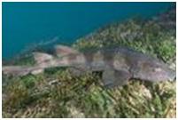 peces tiburones
