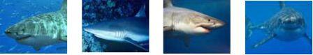 estructura social tiburones
