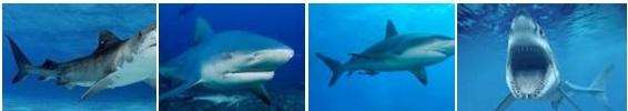 4_tiburones