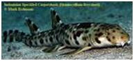 pez tiburon