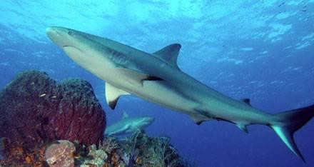 tiburon arrecife caribe