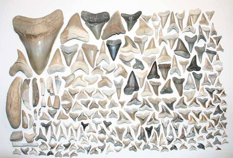 dientes de tiburon