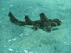 tiburon cuerno