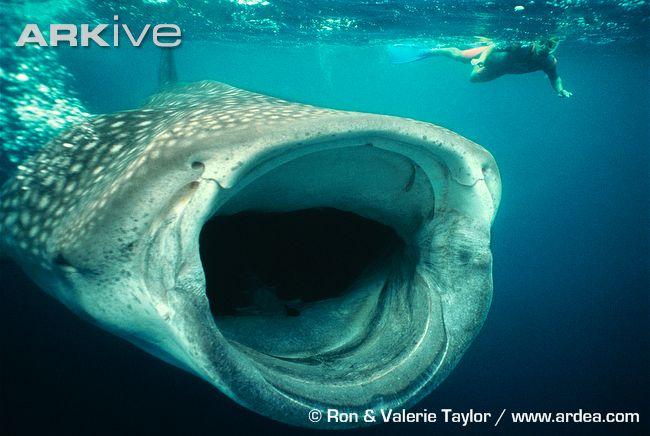 boca tiburon ballena