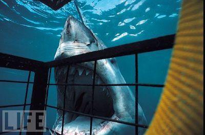 boca tiburon