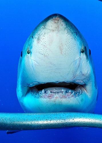 sentidos del tiburon