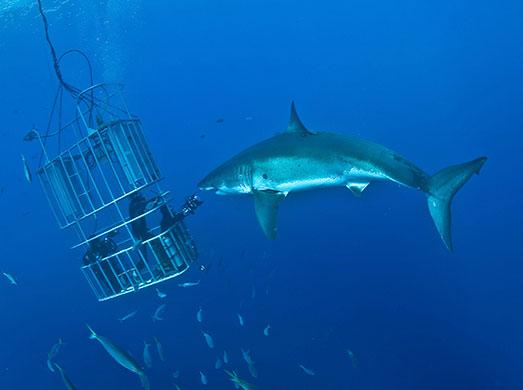 gran tiburon blanco