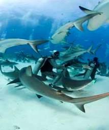 bucear tiburones