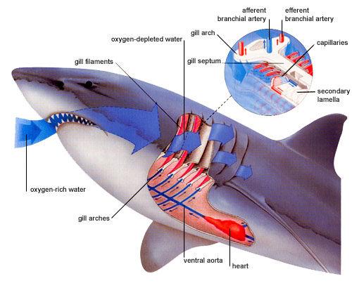respiracion tiburon