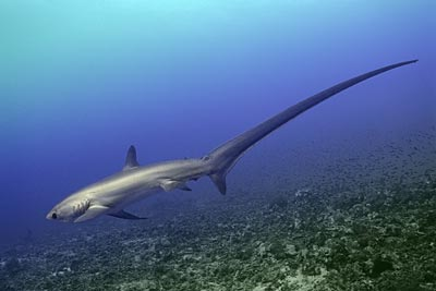 cola-tiburon-zorro