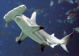 evolucion tiburon