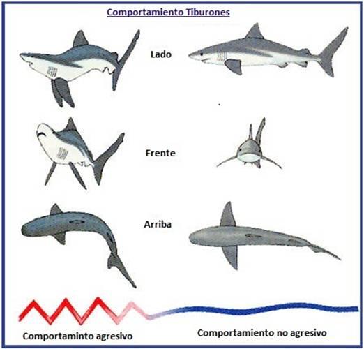 comportamiento tiburones