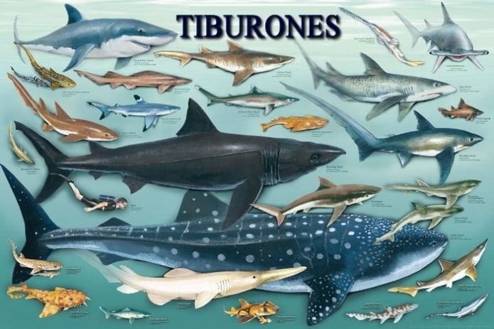 especies-tiburones-min