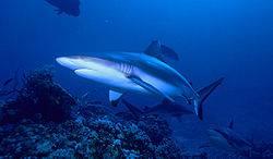 tiburon gris