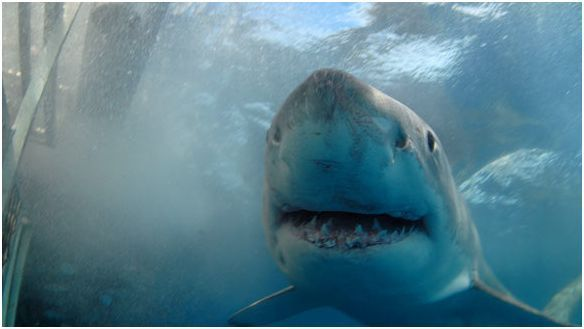 nariz tiburon