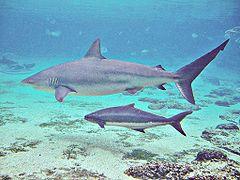 tiburon-oscuro