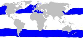 tiburon peregrino