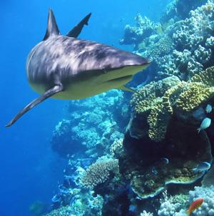 tiburon arrecife
