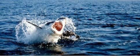 tiburon cazando5