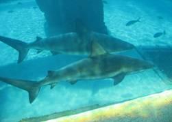 tiburones en cautiverio