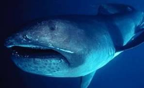 tiburon boca grande