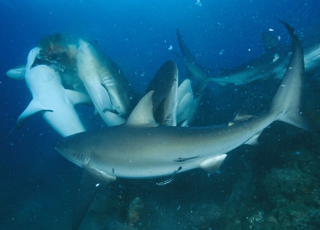 tiburones cazando