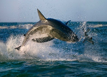 tiburones cazando6