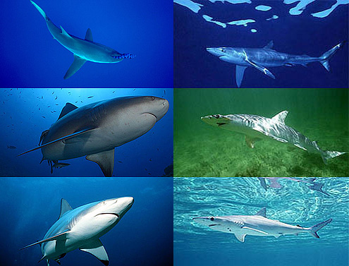 tiburones portada