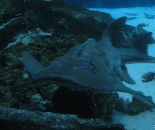 tiburon-raya